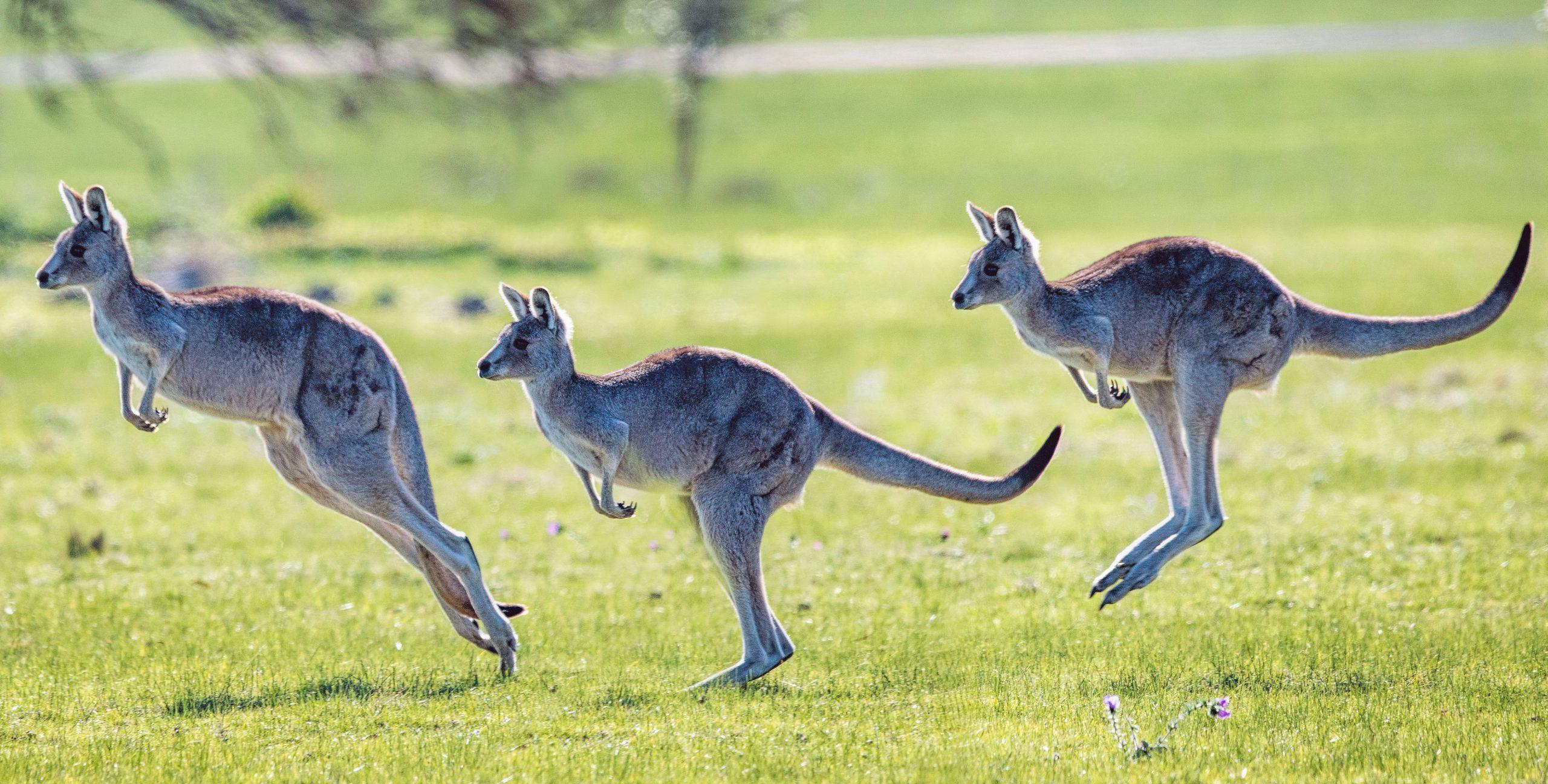 kangaroos near melbourne